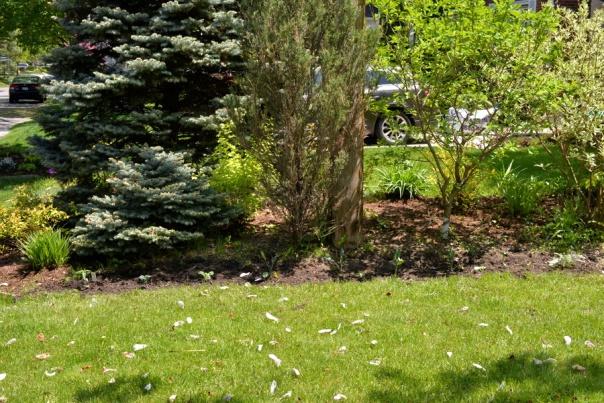 Garden May 2016 - tansy, kale, bergamot