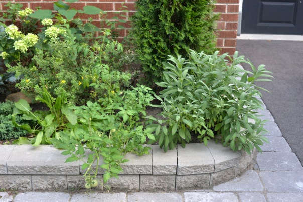 Garden Update: End of Summer - sorrel, tomato, sage
